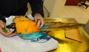 Papagei Kleintierpraxis Utiger