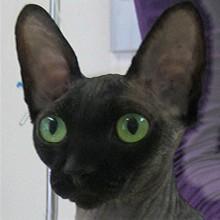 Sphynx Katze, Kleintierpraxis Utiger